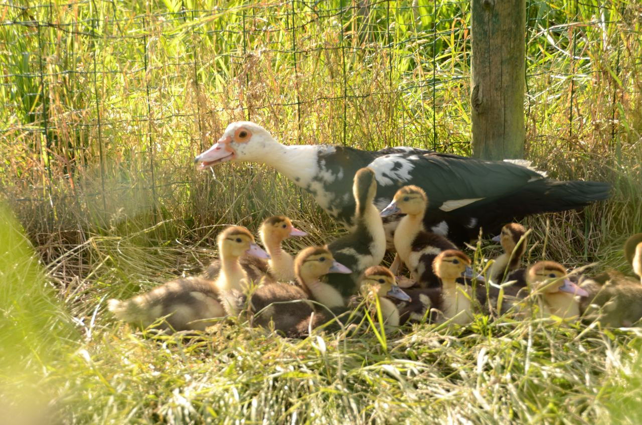 Introducing: Muscovy ducks