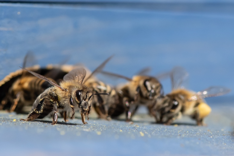 The Lowland Homestead bees