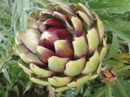 Artichoke-Violet-de-Provence-(3)
