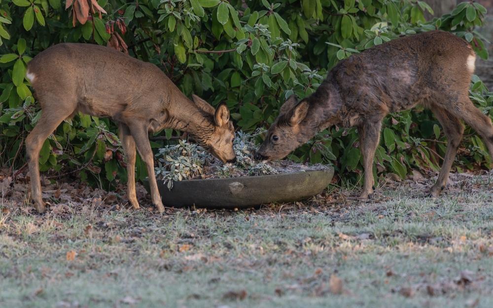 Roe deer doe& buck