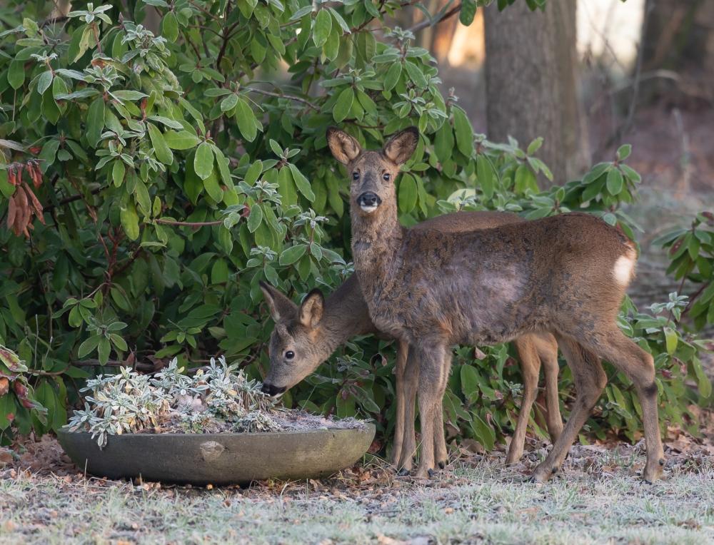 Roe deer doe&buck