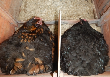 The sisterhood of the broody hens, orpington and australorp