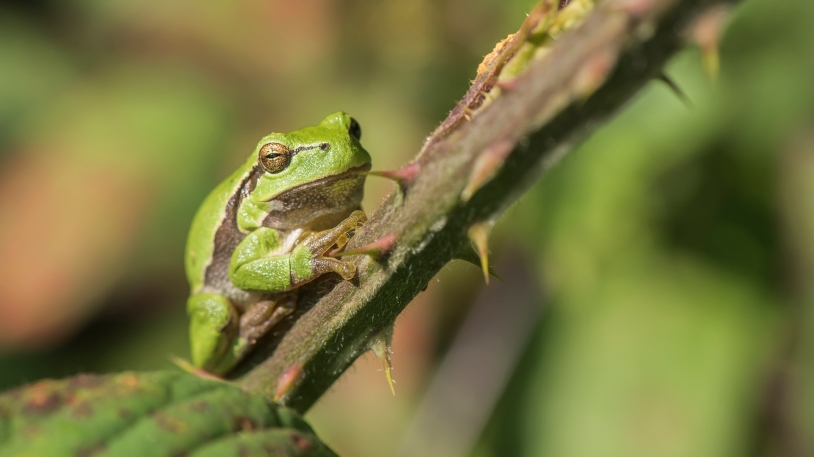 European tree frog at The Lowland Homestead