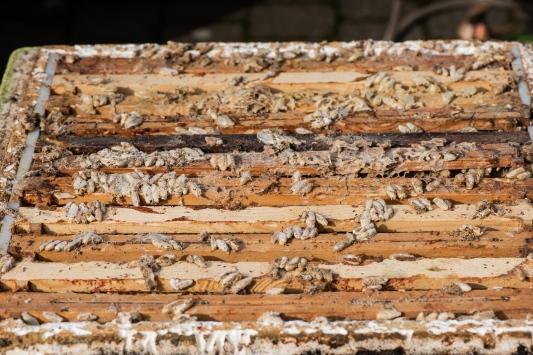 Wax moth on the frames