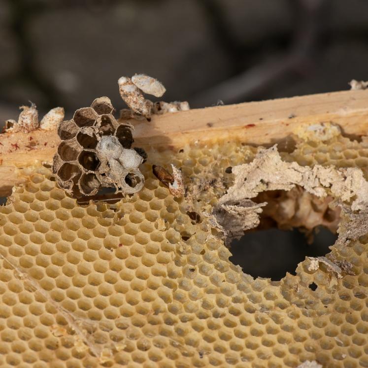 Wasp comb VS bee comb