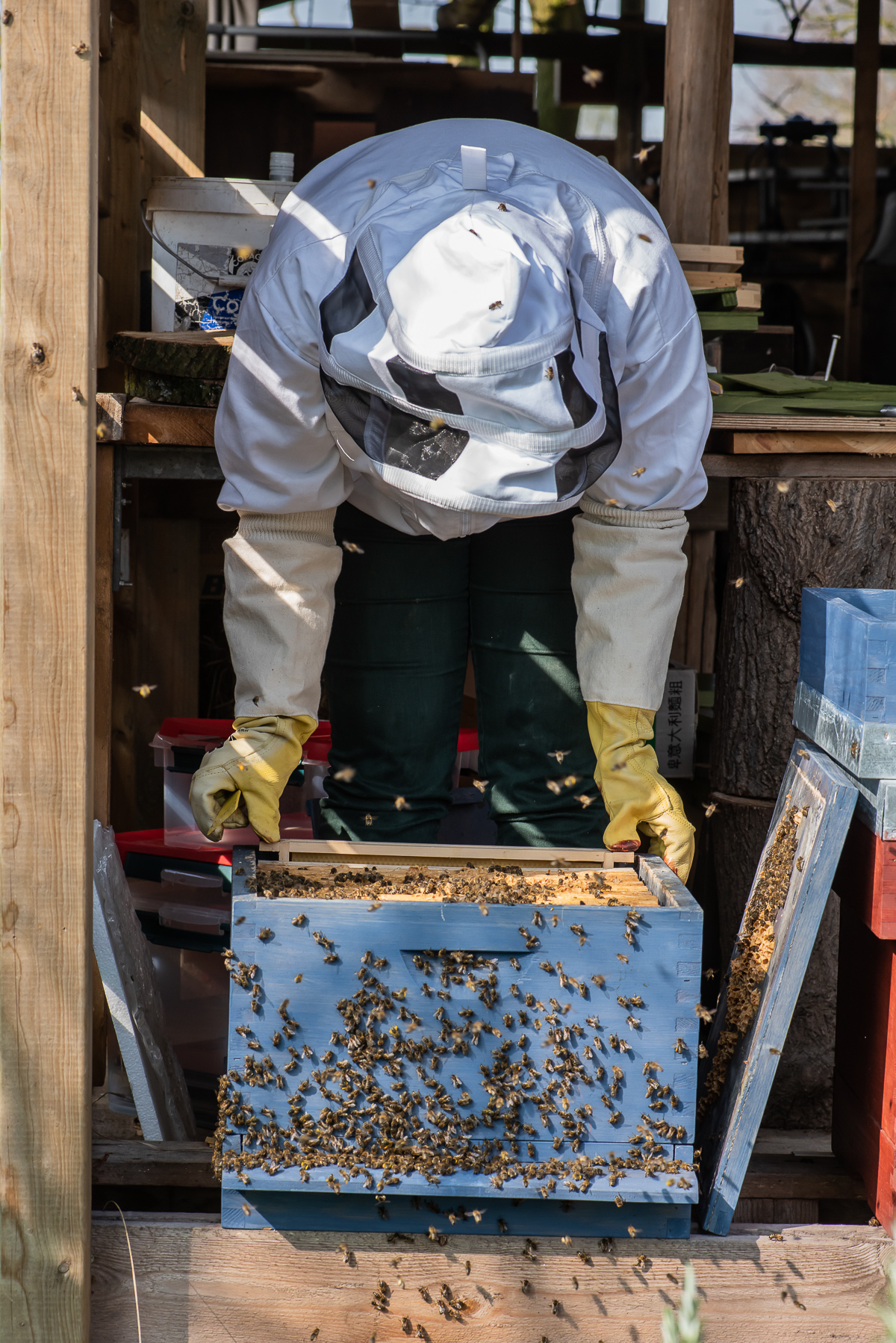 Varroa treatment for honeybees with oxalic acid