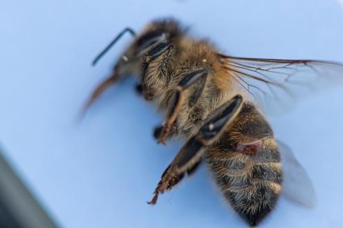 dead bee with varroa